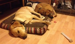 The pet house sitter settles three dogs at home in front of the fire