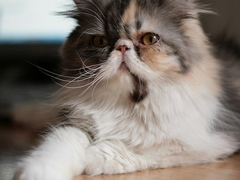 Long-Haired Persian cat