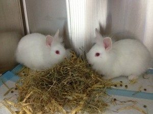 Two small bunnies eating hay, rabbit care is a challenge in pet-sitting