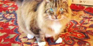 Cat-sitting - Cleo the tabby cat sits on a red Persian carpet
