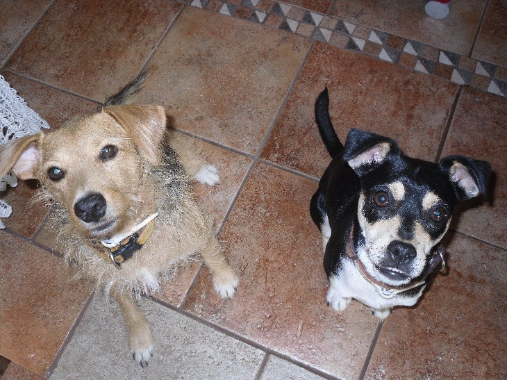 Pet dogs at the House-Sit in Murcia