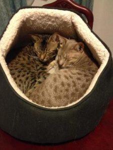Cat-sitter The Ocicats, Rumple and Milo