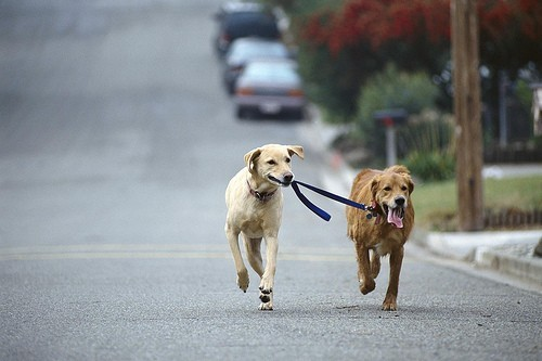 Dogs running down the street one dog holding the leash of the other