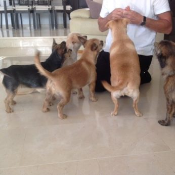 Pet-sitter playing with six small dogs
