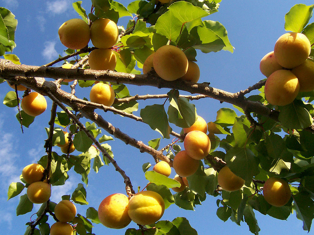 Looking up at a laden apricot tree with fruit fully ripened