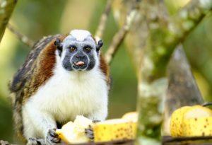 Panama Monkey
