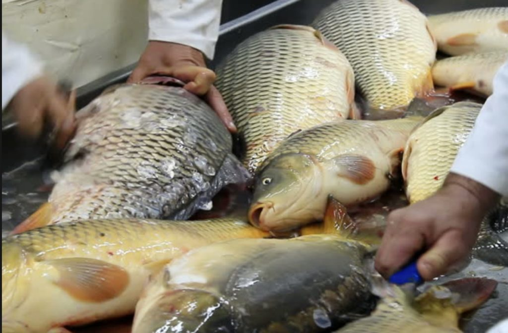 Large carp being prepared for sale by fishmongers