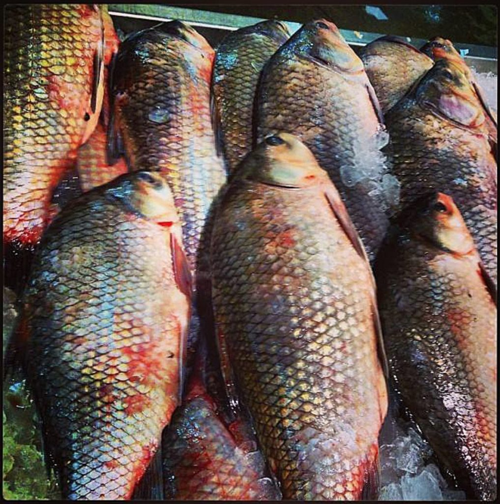 Large and colourful carp on the fishmongers slab