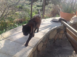 Pets - Yena the cat patrols our garden wall