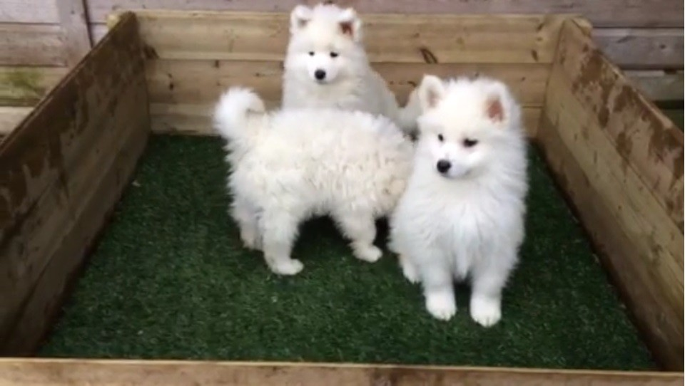 Three Samoyed puppies - white long haired dogs