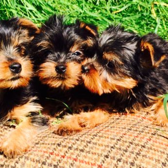 Three yorkshire terrier puppies sitting next to a tea cup to demonstrate how small they can be