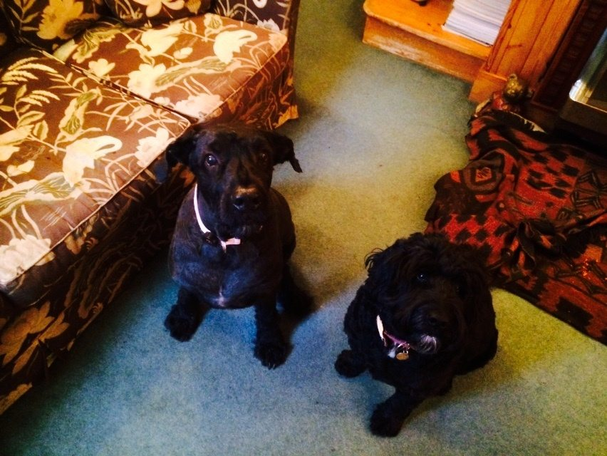 Two dogs waiting for house-sitter to give them a treat