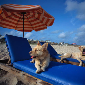 two dogs on sun loungers on beach