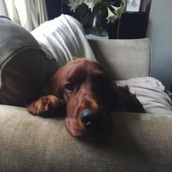about housesitting a red setter looks at the sitter