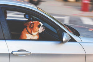 dog staring out of car window