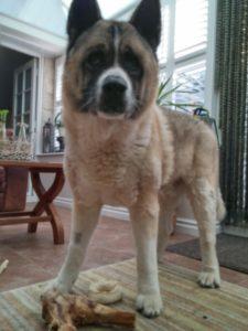 Harrogate housesitting - the dog and his bone
