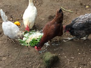 hens being fed kitchen scaps