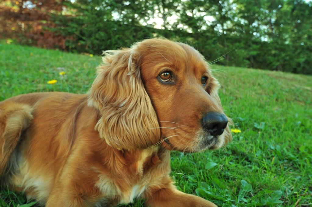 Cocker Spaniel sitting on grass - Marlow housesitters