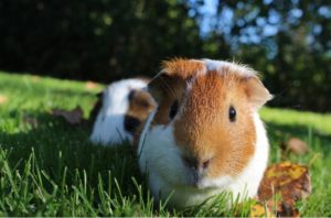 Guinea Pig Sitting Services (Keeping Your Piggy Safe) | Housesit Match