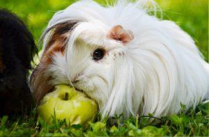 guinea pig sitter