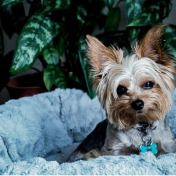getting a Yorkshire terrier